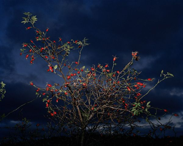 """Red Berries"", 2002, 125 x 155 cm, c-print on aluminium, ed.6"